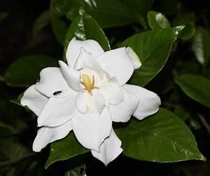 Gardenia Jasminoides Pflege : gardenija gardenia jasminoides ~ A.2002-acura-tl-radio.info Haus und Dekorationen