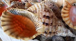 FREELITTLEBRAIN: Semporna Gian Triton - Huge sea snail shell