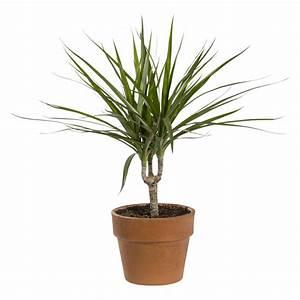 Grande Plante Verte D Intérieur : plantes vertes plantes et fleurs d 39 int rieur et maison botanic ~ Voncanada.com Idées de Décoration