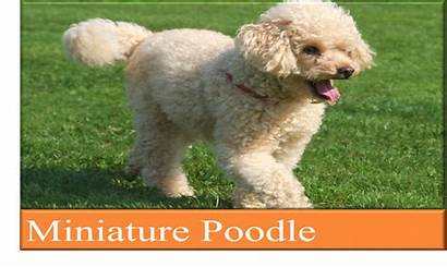 Poodle Breed Ultimate Guide Kgs Weight Breeder