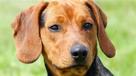 serbian hound muzzle tan dog breeds names temperament