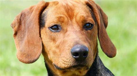 serbian hound muzzle tan dog breeds names temperament