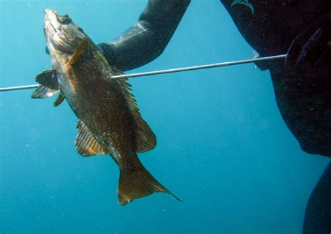 grouper nassau spear conservation success why story fish caught fishing island cayman