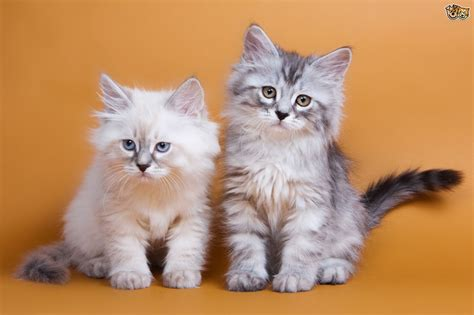 Cat Breed Facts, Highlights & Advice