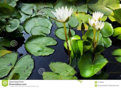 lotus garden thai 58 photos lotus thai beautiful fresh water for the garden royalty