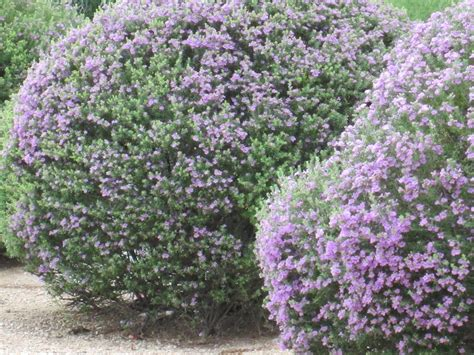 hedge with flowers our desert is cascading with purple flowering bushes tjs garden