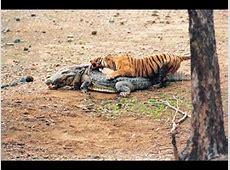 tigre attaque et tuer un crocodile HD YouTube