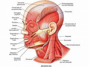 Print Muscular System Flashcards