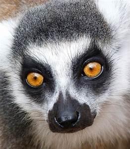 Glowing Lemur Eyes by Margaret Saheed