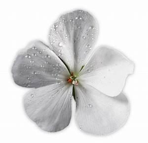 Blumen Für Schatten : ergebnis f r blumen wei e geranienbl te mit leichtem ~ Lizthompson.info Haus und Dekorationen