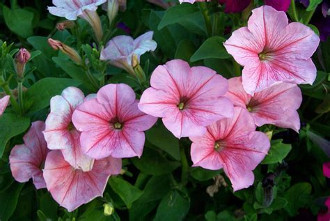images of petunias 301 moved permanently