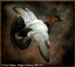 Canvasback Duck Taxidermy Mounts