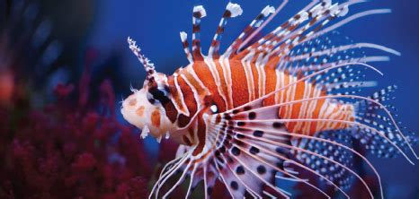 lionfish barbados pocket guide