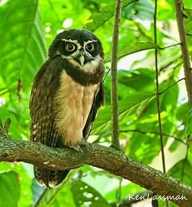 Spectacled Owl | Coruja | Pinterest