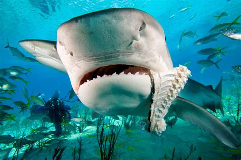 fossilguycom tiger shark facts  information galeocerdo cuvier  fossil species