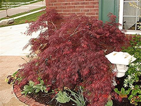 weeping japanese maple varieties the hollywood gossip weeping japanese maple varieties