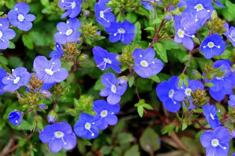 top  early spring perennials fairview garden center