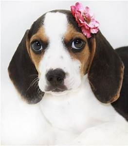Cutest dog ever. A pocket beagle is full grown at 8-10 ...
