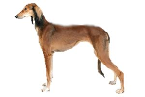 saluki worldly dogs