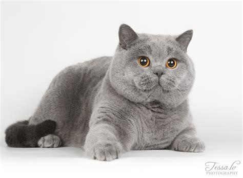 Planuojamos vados   Britų katės - Part 3