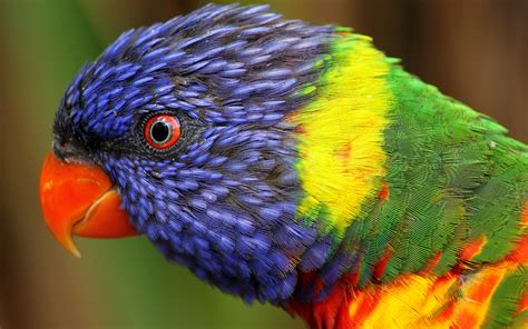 Colourful Animal Wallpaper - wallpaper rainbow parrot beautiful colorful animals