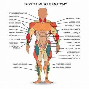Anatomy  Muscles Stock Illustration  Illustration Of