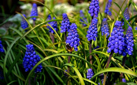 nature, Bees, Flowers, Muscari, Blue Flowers Wallpapers HD ...