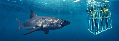 great white shark dive great white shark cage diving in cape town