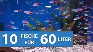 Welche Fische Passen Zusammen Aquarium : 10 fische f r kleine aquarien ab 60 litern mit video ~ Lizthompson.info Haus und Dekorationen