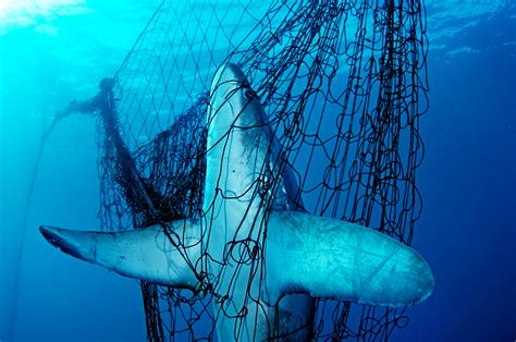 shark species     die  bycatch
