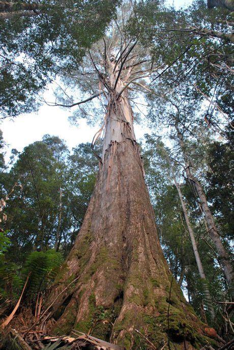 tasmanias  growth forests harvesting trees