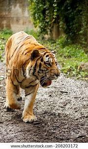 Sad Tiger Cub Stock Photo 28735351 - Shutterstock