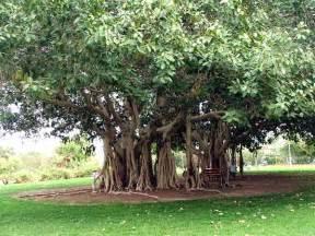 national tree of india indian national tree the banyan tree national symbols of india