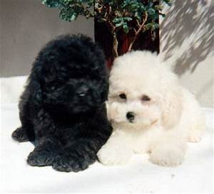 Cute Dogs|Pets: Poodle Pictures Gallery