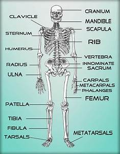 Skeleton Bone Names