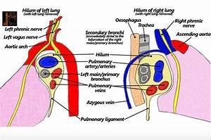 Pulmonary Anatomy Flashcards
