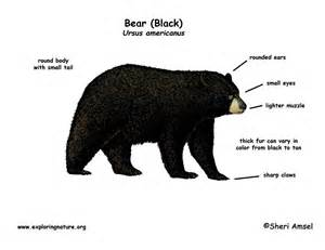 similiar black bear anatomy diagram keywords polar bear diagram black bear skull diagram and labeling