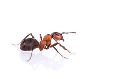5 astuces pour se d 233 barrasser des fourmis grands mamans