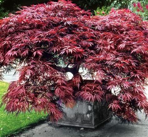 acer palmatum dissectum garnet ou 233 rable du japon pourpre pot 2l 30 40cm jardiplante