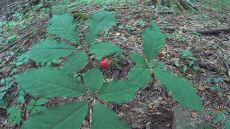 find wild ginseng plants    idendify