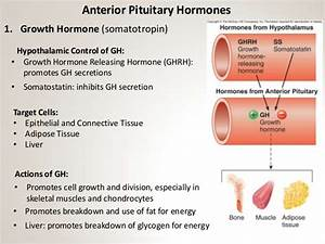 Section 2  Chapter 13  Pituitary Gland