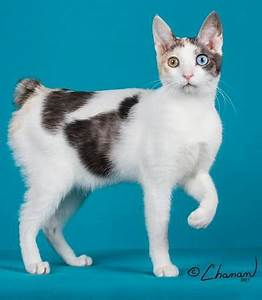 Japanese Bobtail Cat Breeders: Fanciers Breeder Referral List