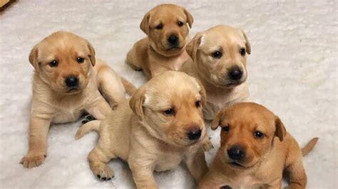 week  labrador puppies weaning    time