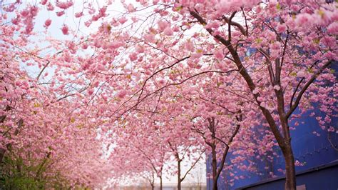 3d Wallpapers Trees by 3d Wallpaper Pink Tree S 248 K Wallpaper Cherry