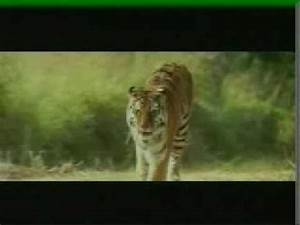 KAAL, The Wildest Tiger Movie Ever Made - YouTube