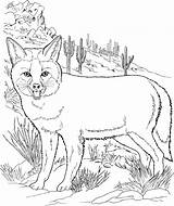 Coyote Fox Coloring Pages Grey Fennec Foxes Drawing Printable Desert Getdrawings Template Supercoloring Howling sketch template