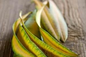 Oleander Hat Gelbe Blätter : oleander hat nach dem winter vertrocknete bl tter woran ~ Lizthompson.info Haus und Dekorationen