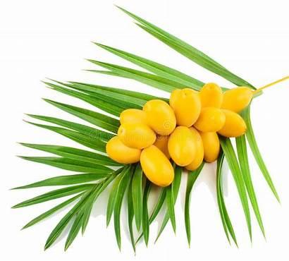 Dates Fresh Date Yellow Raw Fruites Tree