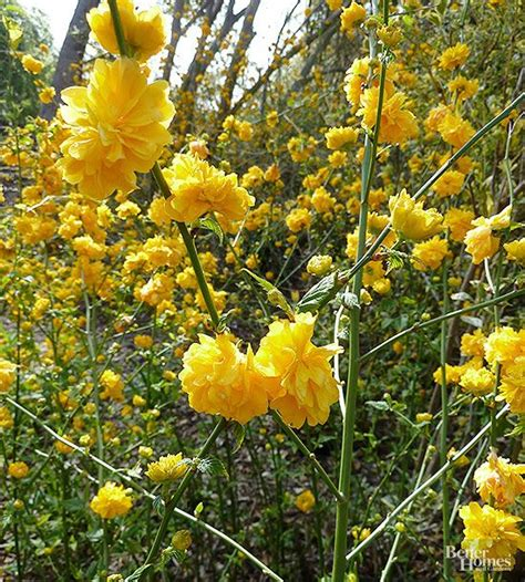 yellow flowering bushes shrubs for shady spots flowering shrubs shrub and bright yellow