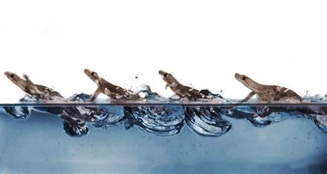 heres  geckos  walk  water science news